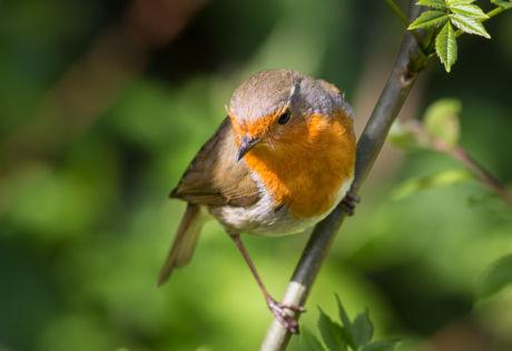 Robin Redbreast - POTD