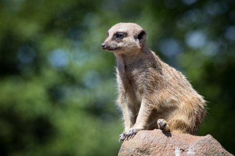 Compare The Meerkat  (POTD)