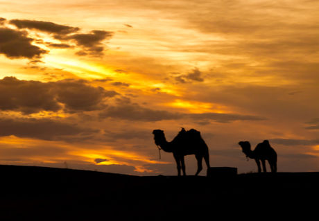 Camels at Sunset  (POTD)