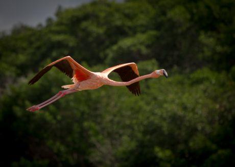 Flamingo in Flight