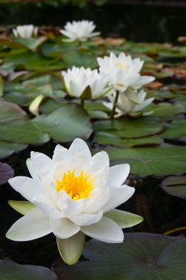 Lilly Pond  (POTD)